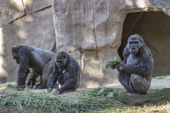 미국 샌디에이고 동물원에서 일부 고릴라들이 신종 코로나바이러스 감염증(코로나19) 증상을 보였다. [AP=연합뉴스]