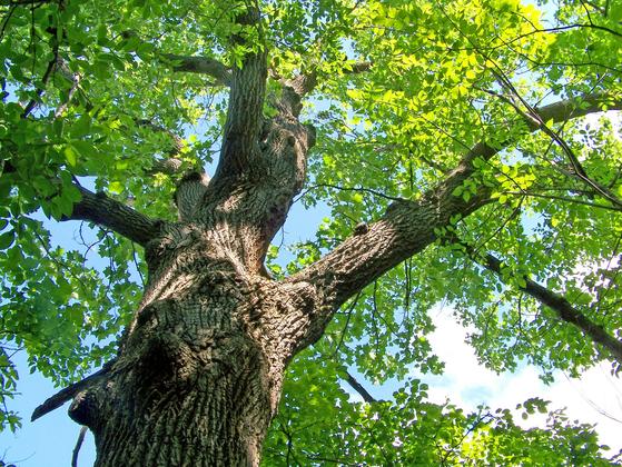 나무를 베고 나면 큰 둥치는 남정네들이 차지하더라도 가지들을 틈틈이 잘라 일년 동안 땔감으로 쓸 수 있다. [사진 pixabay]