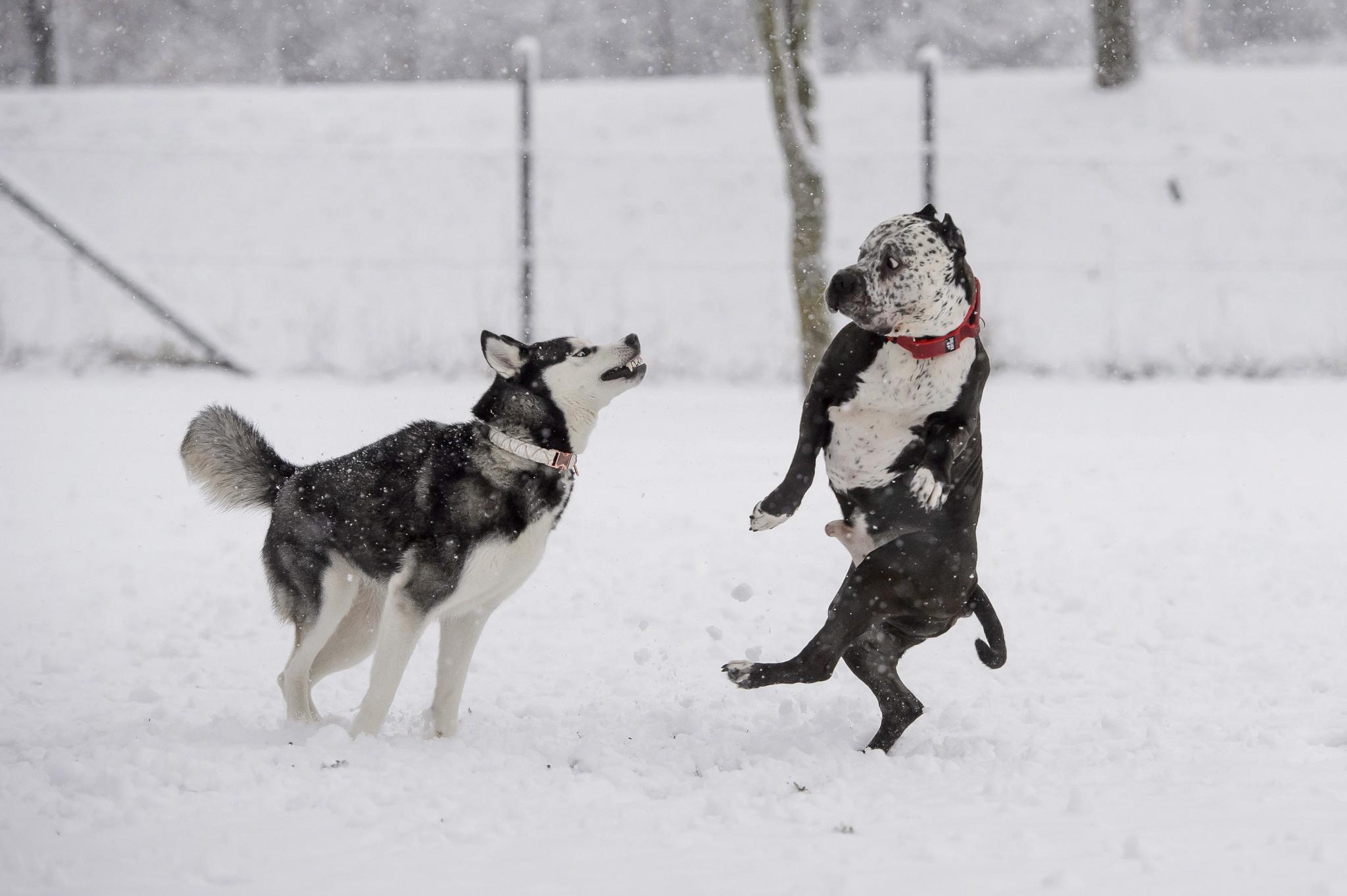 눈 길에서 뛰어놀고 있는 두 마리의 개. (※이 사진은 기사 내용과 직접적인 관련 없음) EPA=연합뉴스