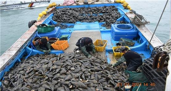 보령해경이 불법조업 혐의로 적발한 어선에서 발견된 키조개. 보령해경은 불법어구를 동원해 조업금지 구역에서 조업한 어선 7척을 검거했다. [사진 보령해경]