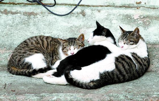 국내에서 반려동물이 코로나에 감염된 사례가 처음으로 확인됐다. 질병관리청에 따르면 감염된 동물은 최근 집단 감염이 발생한 경남 진주 국제기도원에서 기르던 새끼 고양이 한 마리로, 역학조사 및 대처 과정에서 코로나에 감염된 사실이 확인됐다.사진은 25일 오후 서울 시내 한 공원에서 낮잠을 자고 있는 길고양이들의 모습. 뉴스1