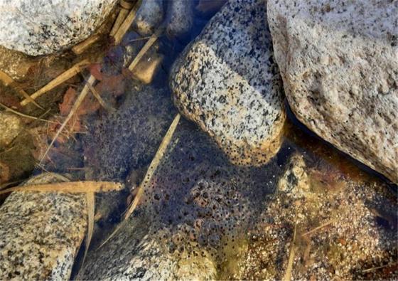 개구리 알도 기후 변화로 인해 일찍 낳았습니다 … 11 년 27 일 더 빨라졌습니다