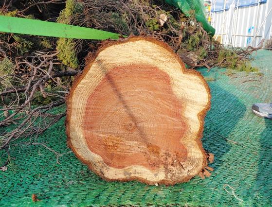 대전시가 옛 충남도청사에 있던 향나무를 무단 제거했다. [사진 독자]
