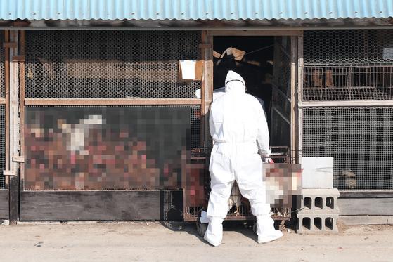 경기도 화성시의 한 산란계 농장에서 지난 19일 방역 관계자들이 살처분 작업을 하고 있다. 연합뉴스