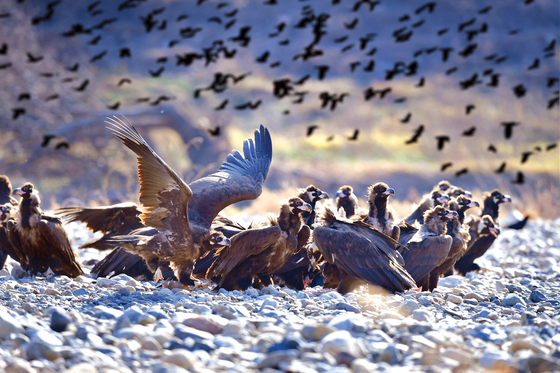 2020년 11월 울산 중구 다운동 태화강 일대 나타난 독수리 무리. [사진 울산시]