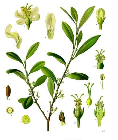 약 3세기경에는 아편의 즙과 열매를 씹거나 환부에 직접 발라 통증 완화를 시도했다. 그 외에 코카나무의 잎사귀를 입으로 씹거나 혹은 발효된 술을 마시고 취한 상태로 치료했다고 전해진다. [사진 Wikimedia Commons]