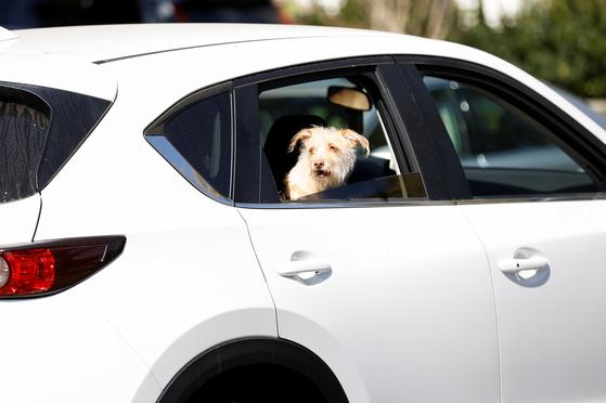 지난 25일(현지시간) 미국 LA에서 한 반려견이 차량에 탄 채 이동하고 있다. 로이터=연합뉴스