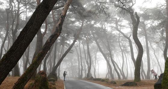 경남 거창군 웅양면 동호숲. 동호숲은 500년 넘은 전통숲으로 소나무가 울창하기로 유명하다. 뉴스1