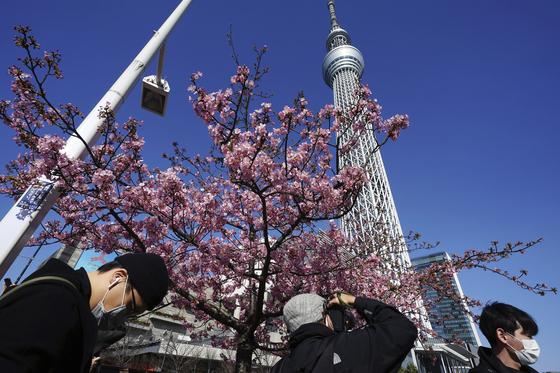 23일 마스크를 쓴 시민들이 이른 벚꽃이 핀 일본 도쿄 스카이트리 인근을 지나고 있다. [AP=연합뉴스]