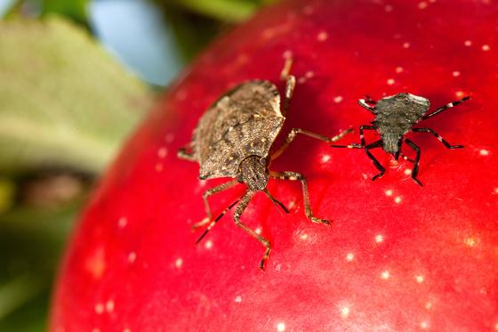 노린재 성충과 약충이 사과 위에 앉아서 영양분을 보충하고 있다. 미 농업연구청