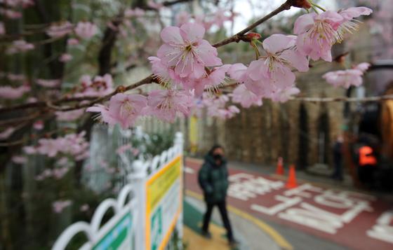 포근한 날씨를 보인 3.1절 연휴 마지막 날인 1일 부산 수영구 망미동 배화학교 정문에 벚나무가 연분홍 꽃망울을 터트려 봄소식을 전하고 있다. 송봉근 기자