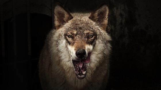 늑대. 왕준열PD