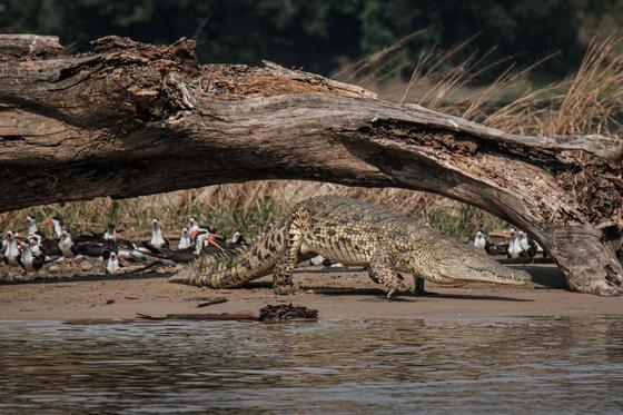 빅토리아나일 강둑에 있는 악어 한 마리. 사진은 기사와 관련이 없습니다. AFP=연합뉴스