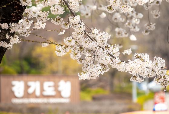 벚꽃이 핀 지난해 경기도청의 모습. 경기도