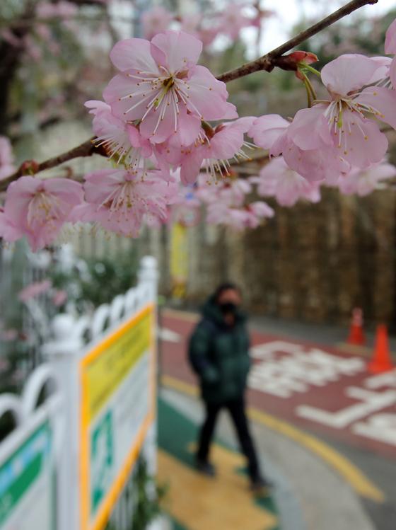 부산 수영구 망미동 배화학교 정문에 벚나무가 연분홍 꽃망울을 터트려 봄소식을 전하고 있다. 송봉근 기자