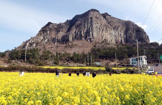 제주 서귀포시 안덕면 산방산 인근 유채꽃밭에서 관광객들이 여유를 즐기는 모습. 뉴스1