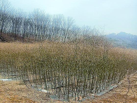 LH 간부 K씨 소유의 땅에는 왕버드나무가 서로 엉킬 정도로 촘촘하게 심어져 있다. 함종선 기자