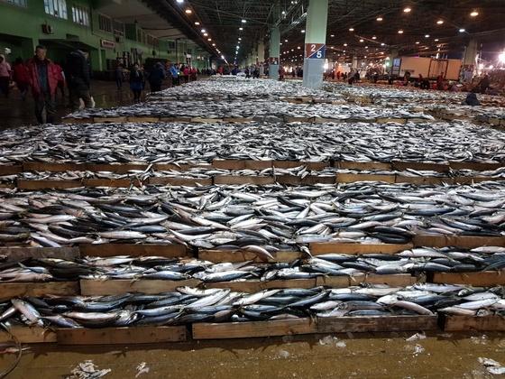 부산공동어시장에서 새끼 고등어가 대량으로 위판되고 있는 모습. [사진 국립수산자원관리공단]