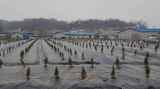 경기 시흥시 과림동에 있는 밭의 모습. 향나무 종류의 묘목이 빽빽하게 들어차있다. 함민정 기자
