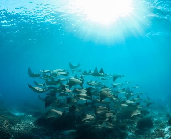 이달 초, 호주 레이디 엘리엇 섬에 사는 해양 생물학자가 촬영한 카우노즈 레이 무리. 사진 Jacinta Shackleton