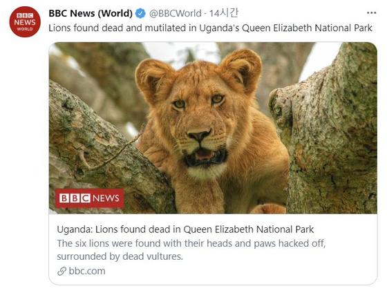 영국 BBC는 20일(현지시간) 아프리카 우간다 퀸 엘리자베스 국립공원에서 사자 6마리의 사체가 발견되었다고 보도했다. [BBC 트위터 캡처]
