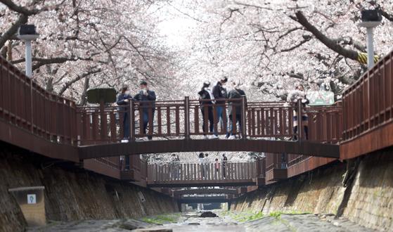 지난 21일 경남 창원시 진해구 여좌천 일대에 벚꽃이 활짝 펴 시선을 끌고 있다. 연합뉴스