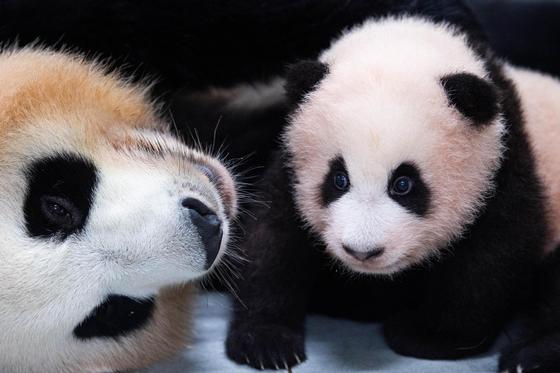 아기 판다 푸바오(오른쪽)와 어미 아이바오. 현재 에버랜드의 최고 인기스타다. 사진 에버랜드
