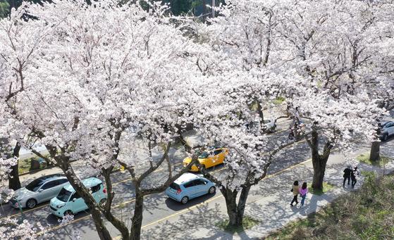 맑은 날씨를 보인 지난 23일 오후 제주시 아라동 제주대학교 인근 왕벚꽃나무가 만개해 지나는 사람들의 시선을 사로 잡고 있다. 뉴시스