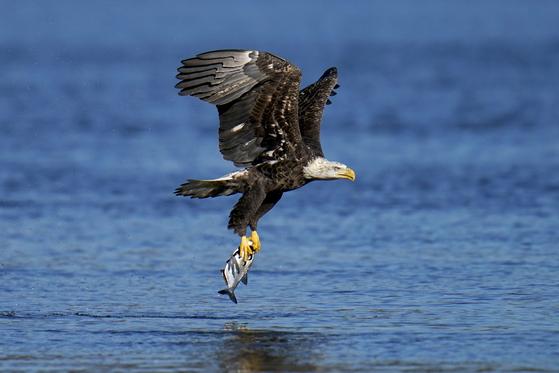 물고기를 사냥하는 흰머리독수리. AP=연합뉴스