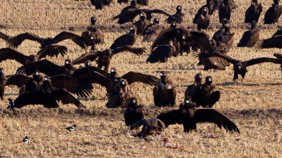 고기를 보고 몰려든 독수리 떼. 유튜브 '새덕후'