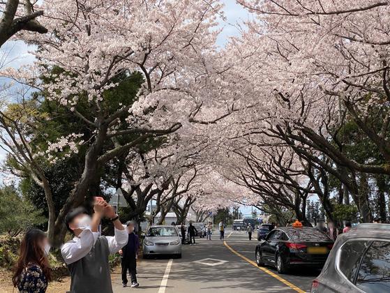 지난 24일 제주시 애월읍 장전리 왕벚꽃나무 거리를 찾은 관광객이 사진을 찍고 있다. 관광객 중 상당수는 마스크를 착용하지 않은채 꽃놀이를 즐겼다. 최충일 기자
