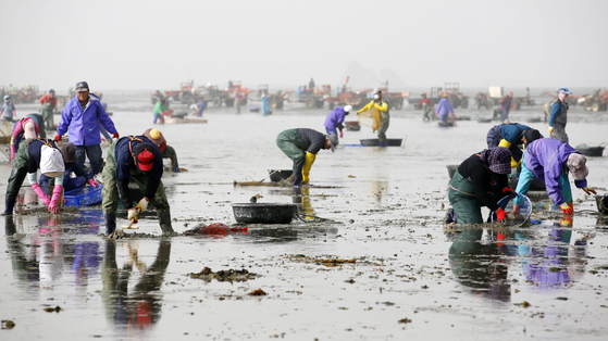 29일 충남 태안군 소원면 파도리에서 어민들이 바지락을 채취하고 있다. 파도리에서 채취한 바지락은 전량 일본으로 수출한다. [사진 태안군]