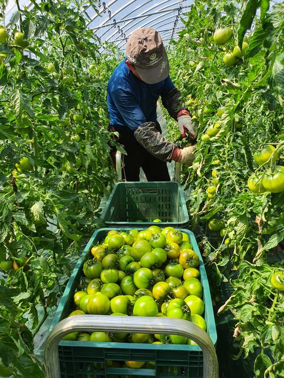 부산 강서구 대저1동에서 35년째 짭짤이 토마토 농사를 짓고 있는 김철규(65)씨가 28일 토마토를 수확하고 있다. [사진 김철규씨]