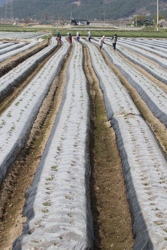 31일 오후 경북 고령군 개진면 한 감자밭에 지난 2월 하순 심은 감자 싹이 올라오자 주민과 일꾼들이 보온용 비닐에 구멍을 뚫는 작업을 하고 있다. 뉴스1