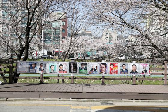 30일 서울시 은평구 불광천 벚꽃길에 서울시장 후보들의 선거 홍보물이 걸려 있다. 김상선 기자