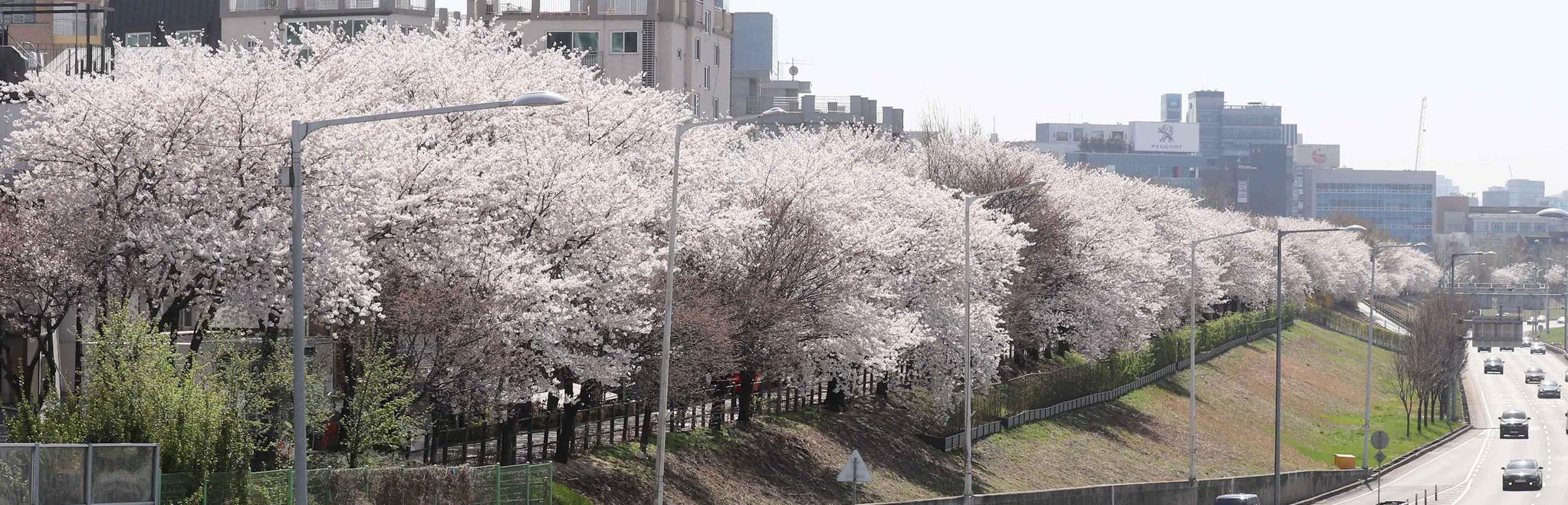 벚꽃 여의도만 있나? 우리동네도 있다~ 서울 벚꽃 11경