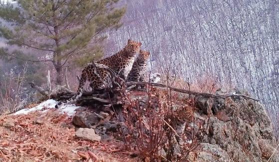 러시아 연해주에서 포착된 멸종위기 아무르 표범 가족. 표범의땅 국립공원