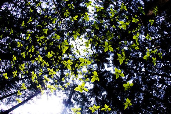 4월은 신록의 계절이다. 벚꽃이 졌다고 아쉬워하지 않아도 된다. 수목원으로 가면 꽃보다 싱그러운 연둣빛 숲을 만날 수 있다. 4월 현재, 전국에 68개 수목원이 있다. 사진은 경기도 포천 국립수목원. 층층나무가 연둣빛 새순을 틔운 모습. [중앙포토]