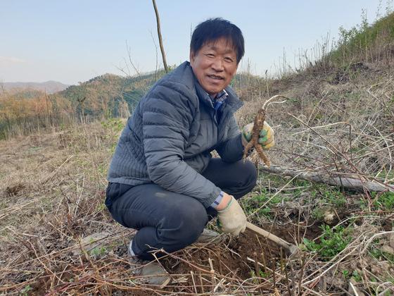 지난 6일 경기도 양평군 서종면 용문산 기슭 '용문산 산더덕 농장'. 조남상 대표가 6년근 산더덕을 캔 뒤 들어보이고 있다. 전익진 기자
