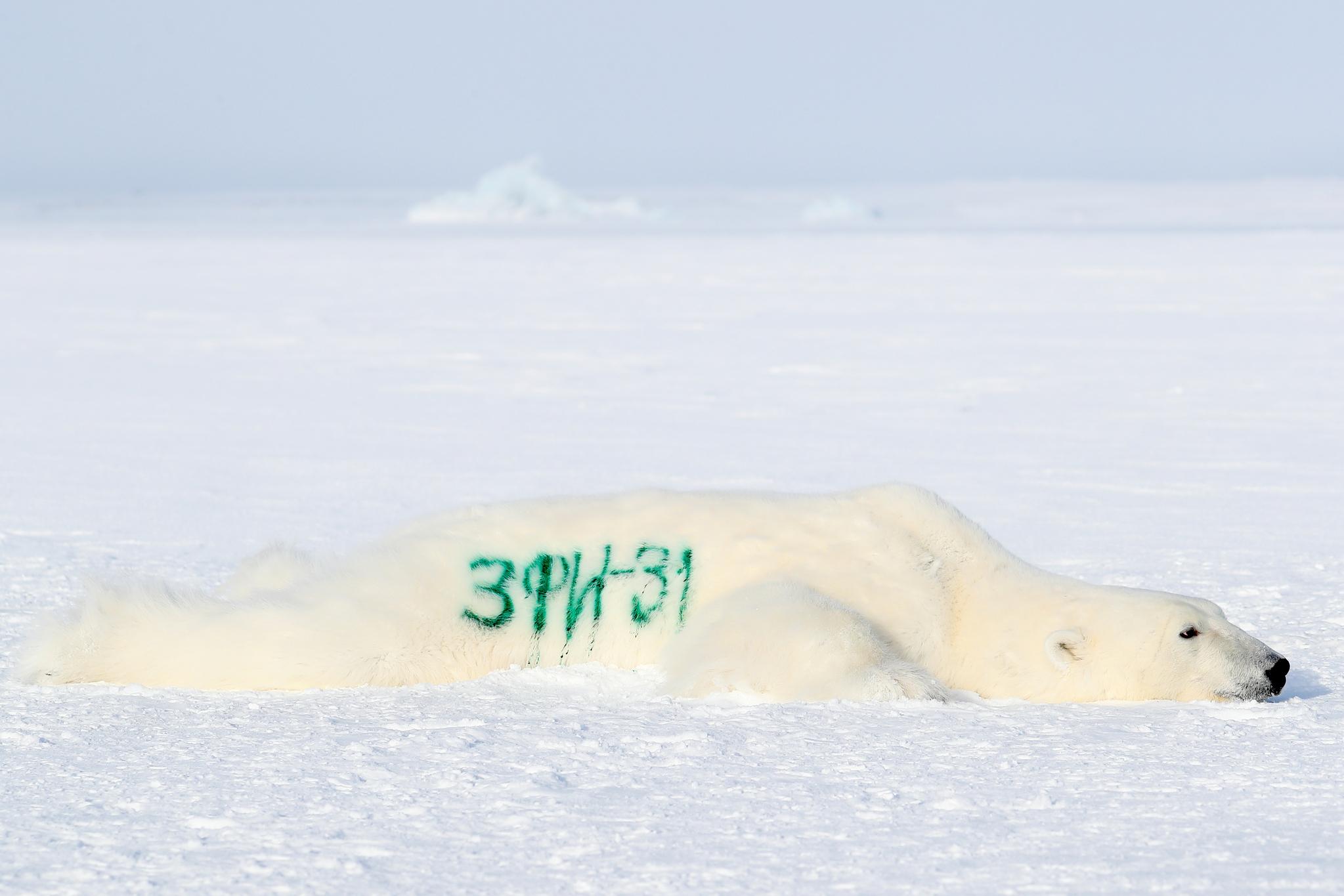 러시아 지리 탐사대가 북극해 알렉산드라 섬에서 북극곰을 마취한 뒤 곰 몸통에 인식번호를 썼다. 러시아지리협회가 조직한 북극탐사대는 지난 3월 중순부터 북극해 프란츠 요셉 군도에서 연구활동을 벌이고 있다. TASS=연합뉴스