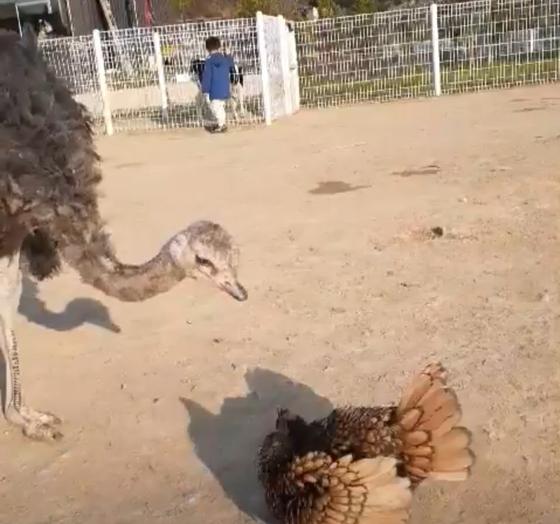 지난 6일 전북 익산시 한 동물농장에서 타조 한 마리가 병아리 2마리를 공격하자 어미 닭이 새끼들을 제 품에 숨겼다. 사진 박성준