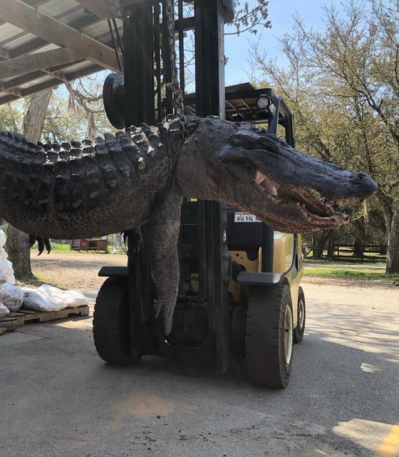 지난 8일(현지시간) 미국 사우스캐롤라이나주에서 잡힌 몸길이 3.65m, 무게 201kg의 거대 악어. [코드레이스 페이스북 갈무리]