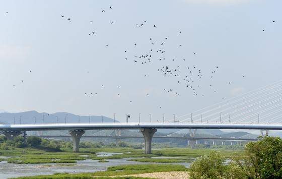 4대강 금강 세종보를 찾은 가마우지들이 떼를 지어 이동하고 있다. [프리랜서 김성태]