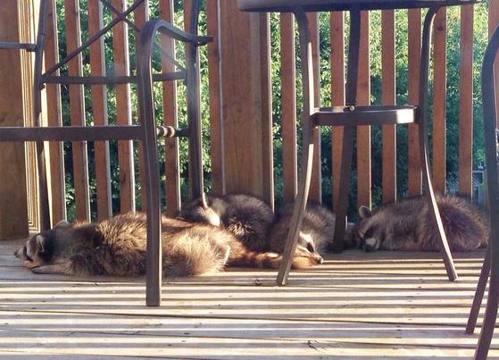 테라스에서 휴식을 취하는 라쿤 가족. @MarjoriePlus3