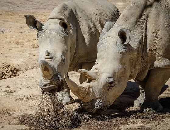 코뿔소 중 개체 수가 가장 많으며 2만 마리 이상이 자연에 서식하는 것으로 알려져 있다. 전 세계 동물원에서도 800여 마리를 보호하고 있다. [사진 pixabay]