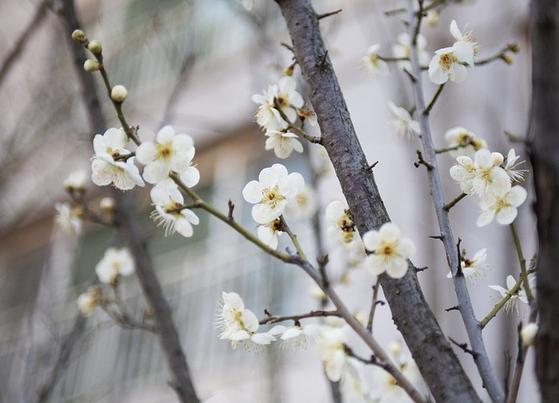 자신이 지금 느끼는 느낌과 감정이 무엇인지 잘 모르겠으면 숫제 새로 개념을 만들어 볼 수 있다. 코로나19 사태에 '눈치 없는 봄꽃'이란 감정을 만들어진다는 시인이 있다. [사진 pixabay]
