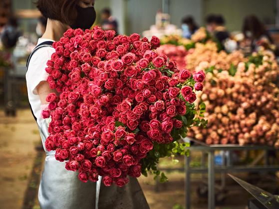 한 화훼농가에서 온라인 판매용 장미를 수확하고 있다. 사진 마켓컬리