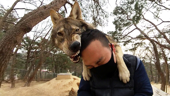 대전 오월드에서 한국 늑대가 사육사 박중상씨에게 매달려 장난을 치고 있다. 왕준열PD