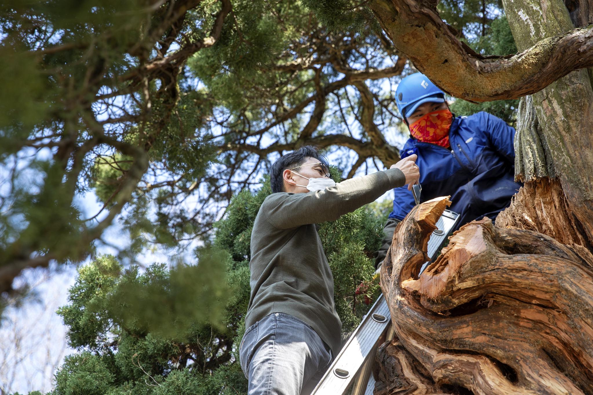 나무의사 문성철 원장(왼쪽)이 전남 순천 송광사 천자암에 있는 천년기념물 쌍향수를 진단하고 있다.