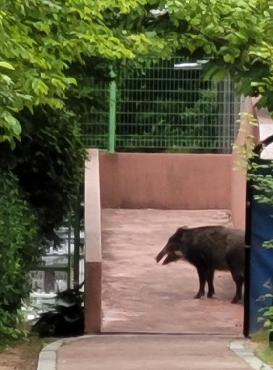 창원의 한 초등학교에 나타난 멧돼지 모습. 연합뉴스